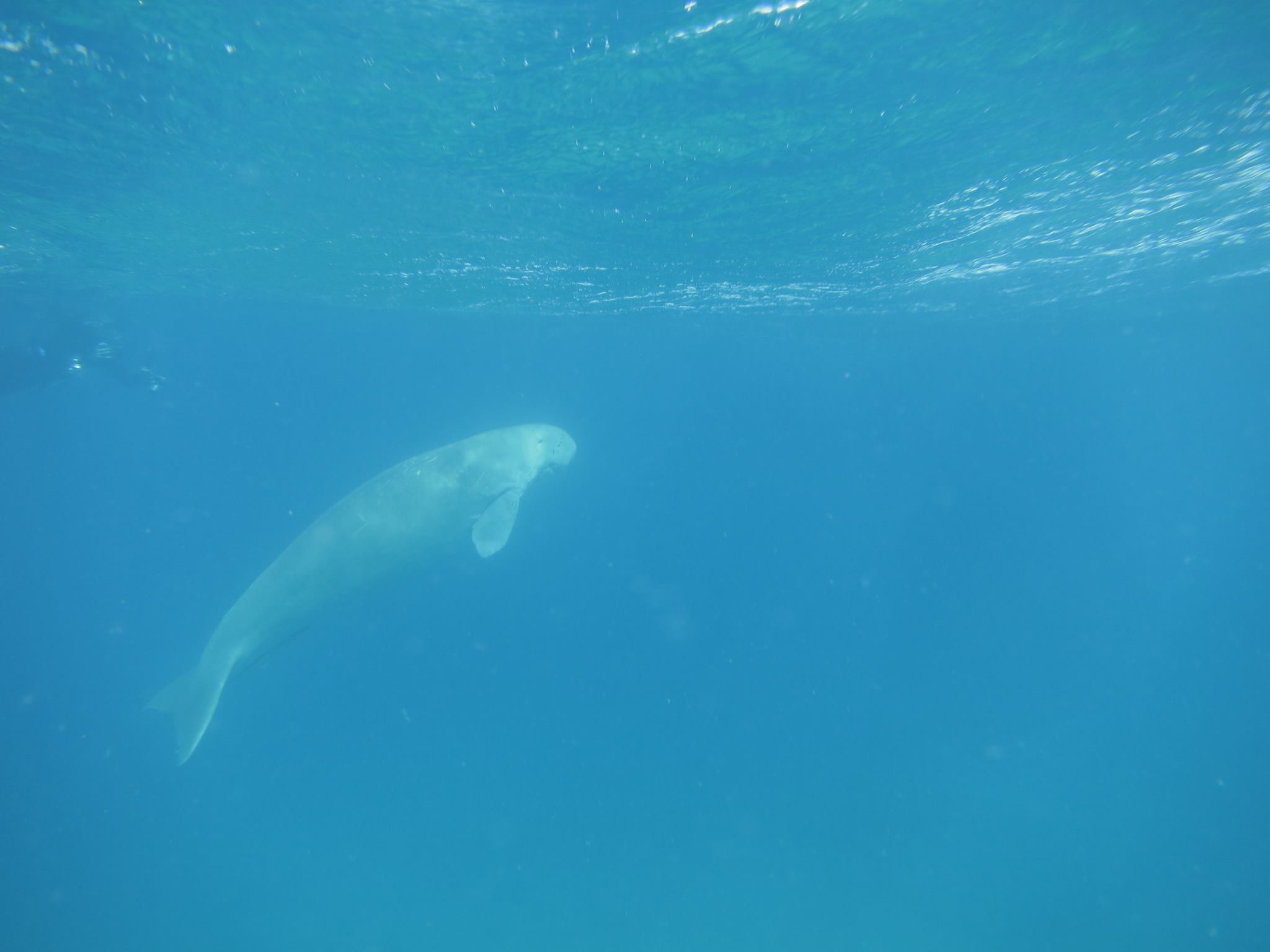 How to swim responsibly with dugongs